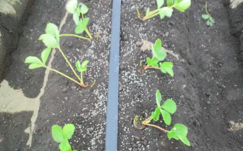 移植直後の畝の部分(連棟ハウス)