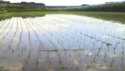 慣行栽培の田植え直後のほ場
