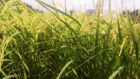 慣行栽培のお米の穂
