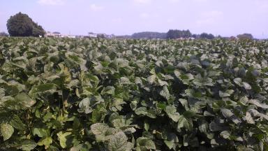 大豆畑の風景